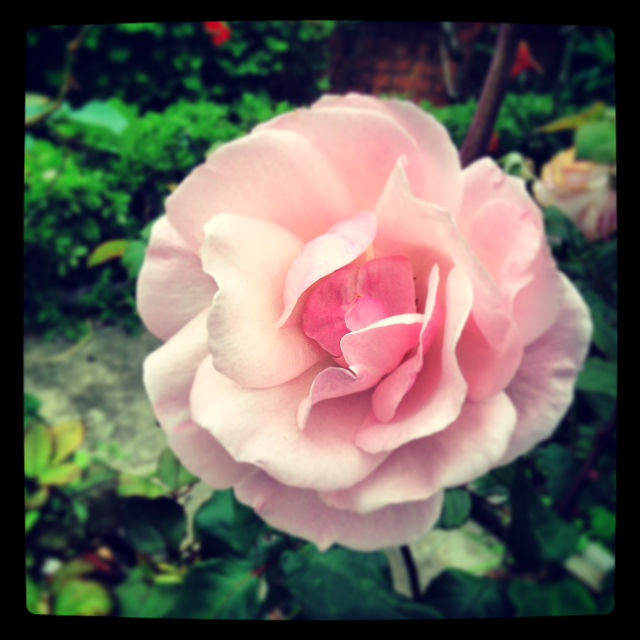 this is a photo of a pink rose